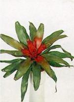 Neoregelia carolinae L. B. Smith.
